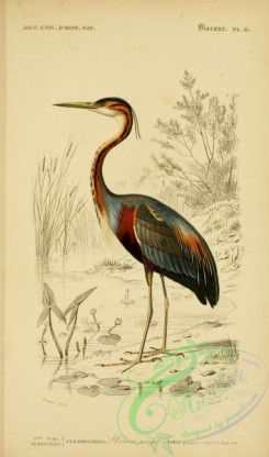 long_legged_birds-00149 - Purple Heron