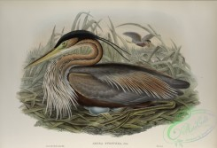long_legged_birds-00166 - 451-Adrea purpurea, Purple Heron
