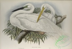 long_legged_birds-00167 - 452-Herodias alba, Great White Egret, or White Heron