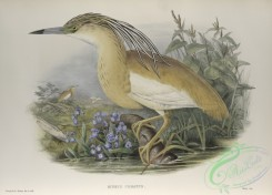 long_legged_birds-00169 - 455-Buphus comatus, Squacco Heron