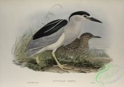 long_legged_birds-00170 - 456-Nycticorax griseus, Night-Heron