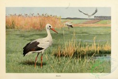 long_legged_birds-00230 - Stork