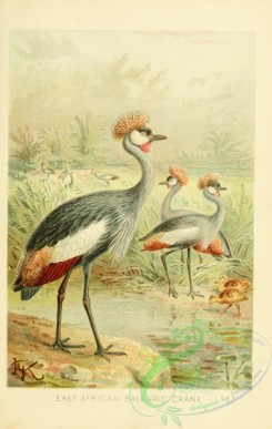 long_legged_birds-00238 - East African Balearic Crane