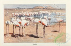 long_legged_birds-00242 - Flamingo