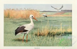long_legged_birds-00243 - Stork