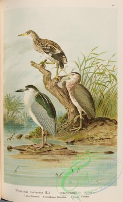 long_legged_birds-00255 - Black-crowned Night-Heron, nycticorax nycticorax