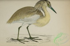 long_legged_birds-00270 - Squacco Heron