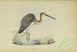 long_legged_birds-00273 - egretta ruficollis