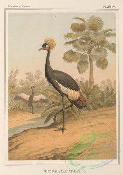 long_legged_birds-00343 - Balearic Crane