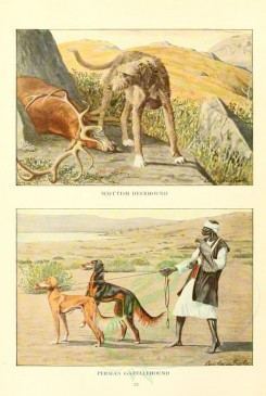 mammals-01981 - Scottish Deerhound, Persian Gazellehound [1862x2770]