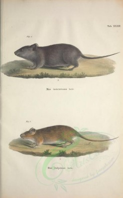 mammals-04241 - Woolly Giant Rat or Wooly Kunsia, cerradomys subflavus vulpinoides [3703x5936]