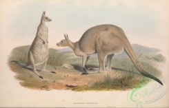 mammals-06117 - macropus giganteus, macropus major, 2