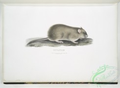 mammals-06982 - 2486-Indian Field Mouse, Arvicola Indica