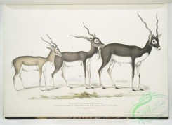 mammals-06983 - 2487-Indian Antelope, Antilope cervicapra, 1, Young in month of January 1822, 2, , same Individual in end of Oct, 1823, 3, Adult
