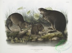 mammals-07027 - 2317-Fiber Zibethicus, Musk-Rat, Musquash, Natural size, Old and young