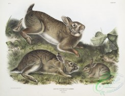 mammals-07036 - 2326-Lepus Sylvaticus, Grey Rabbit, Natural size, Old , young