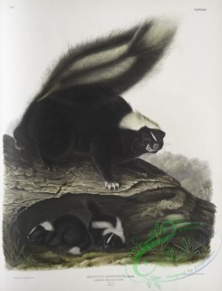 mammals-07056 - 2346-Mephitis Americana, Common American Skunk, Natural size, Female