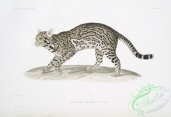 mammals-07166 - 2204-Chat albescent, Felis albescens, Male