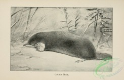 mammals_bw-00657 - 029-Common Mole