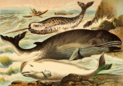 mammals_full_color-00021 - Narwhal, White Whale, Rorqual
