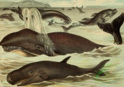 mammals_full_color-00022 - Right Whale, Black Fish, Porpoise, Dolphin