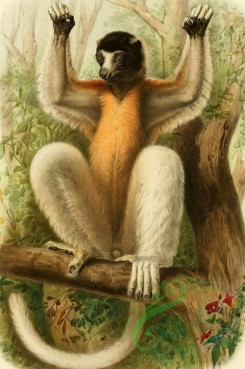 mammals_full_color-00028 - Crowned Sifaka