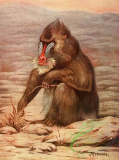 mammals_full_color-00070 - MANDRILL