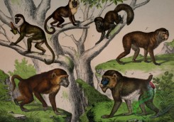 mammals_full_color-00090 - Capuchin Monkey, Green Monkey, Baboon, Mandrill, Black Howler, Barbary Ape