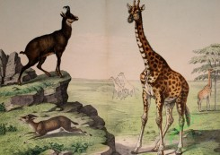 mammals_full_color-00092 - Giraffe, Chamois, Gazelle