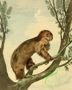 mammals_full_color-00099 - TWO-TOED SLOTH