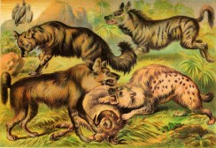 mammals_full_color-00139 - Aard Wolf, Brown Hyena, Spotted Hyena, Striped Hyena