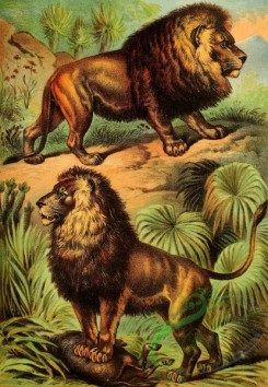 mammals_full_color-00140 - African Lion, Asiatic Lion