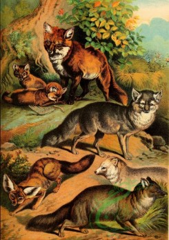 mammals_full_color-00143 - Common Fox, Tenrec, Arctic Fox, Blue Fox, Silver Fox