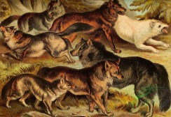 mammals_full_color-00146 - Grey Wolf, Coyote, Jackal, Red Wolf, Prairie Wolf, White Wolf, Black Wolf