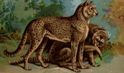 mammals_full_color-00175 - Lion, Cheetah, felis leo, gueparda jubata