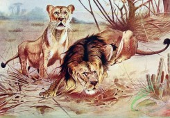 mammals_full_color-00185 - Lion and Lioness