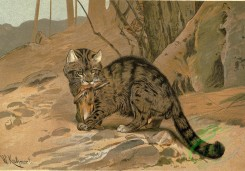 mammals_full_color-00190 - Wild Cat