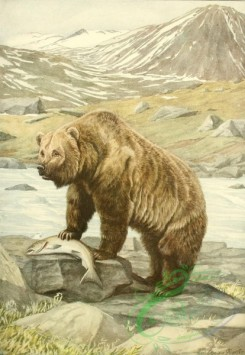 mammals_full_color-00217 - Alaska Brown Bear