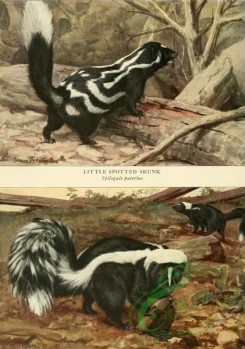 mammals_full_color-00227 - Little Spotted Skunk, Common Skunk