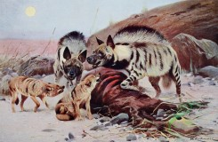 mammals_full_color-00248 - STRIPED HYAENA AND JACKAL