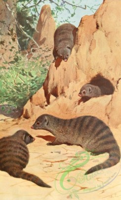 mammals_full_color-00263 - Banded mongoose