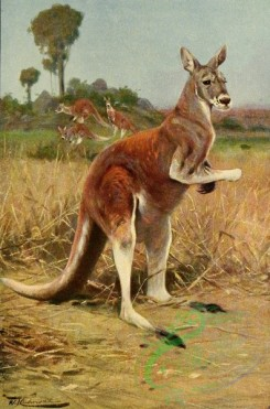 mammals_full_color-00312 - RED KANGAROO