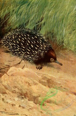 mammals_full_color-00313 - SPINY ANT-EATER