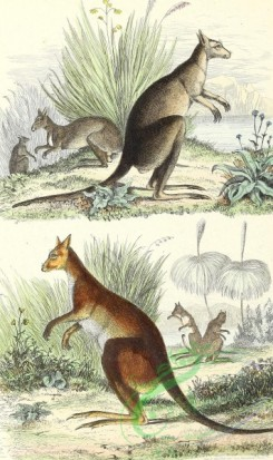 mammals_full_color-00339 - Kangaroo
