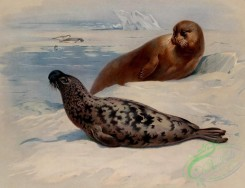 mammals_full_color-00342 - Hooded Seal, Bearded Seal