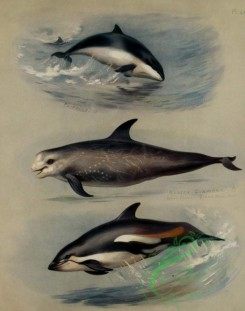 mammals_full_color-00346 - Porpoise, Risso's Grampus, White-sided Dolphin