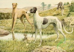 mammals_full_color-00377 - Greyhounds