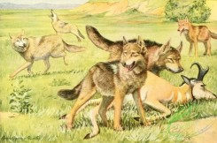 mammals_full_color-00403 - Timber Wolf, Coyote, Dingo 2