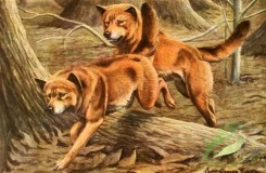 mammals_full_color-00404 - Timber Wolf, Coyote, Dingo