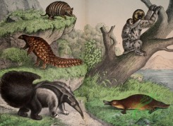mammals_full_color-00427 - Great Ant-eater, Duck-Bill, Scaly Ant-eater, Bristly Armadillo, Three-toed Sloth